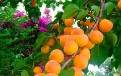 Удобрение для абрикосов