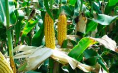 Удобрение для кукурузы