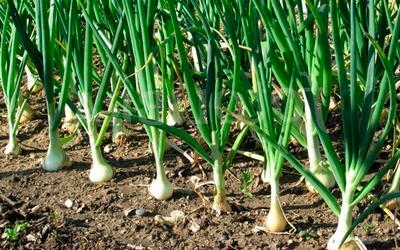 Удобрение для лука