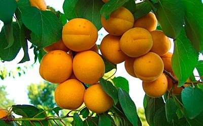 Удобрение для персиков