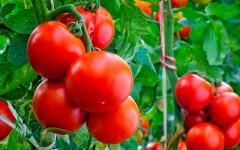 Удобрение для помидоров