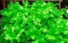Удобрение для салата
