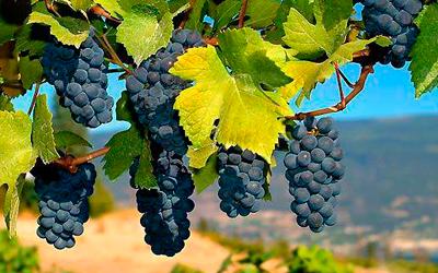 Удобрение для винограда