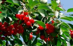 Удобрение для вишни