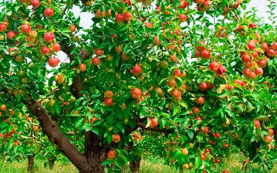 Удобрение для яблони